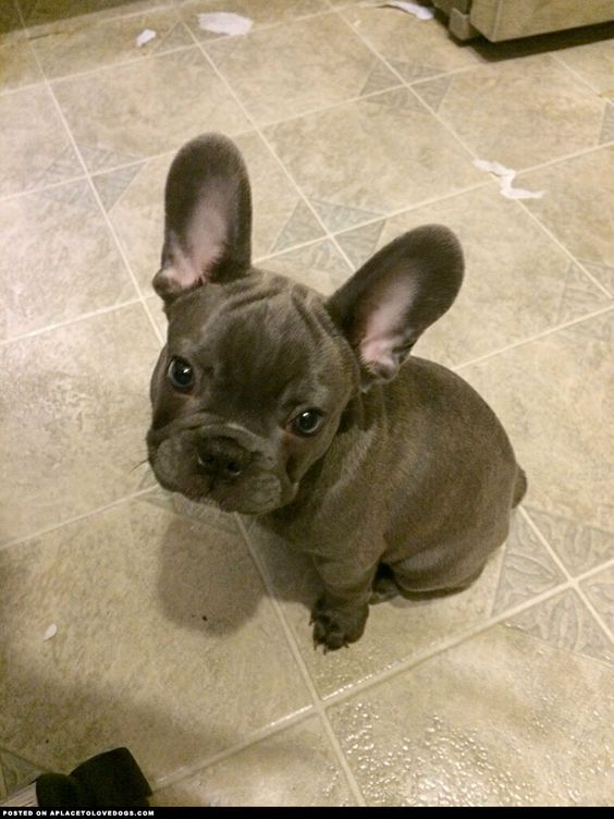 Darling Little French Bulldog ::: Visit our poster store Rover99.com