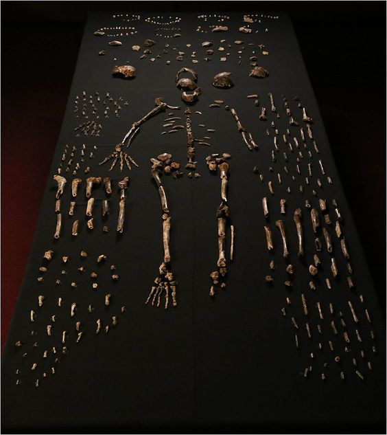 Homo Naledi - Dinaledi skeletal specimens. The figure includes approximately all of the material incorporated in this diagnosis, including the holotype specimen, paratypes and referred material. These make up 737 partial or complete anatomical elements, many of which consist of several refitted specimens. Specimens not identified to element, such as non-diagnostic long bone or cranial fragments, and a subset of fragile specimens are not shown here.