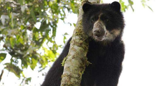 Encuentren al criminal que ejecutó de un tiro en la cabeza a un oso de anteojos FIRMA Y COMPARTE...