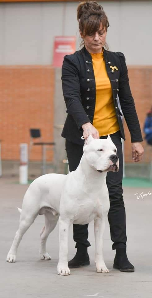 Pin On Argentino Dogo