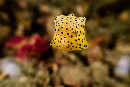 Juvenile Yellow Boxfish Photo By Daniel Sasse National Geographic Your Shot As Of Many Fish The Juvenile Yell Fish Underwater Photography National Geographic