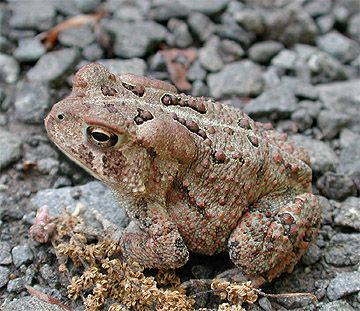 Toads thrive in my gardens. Did you know they burrow into the ground and will peep out at you?