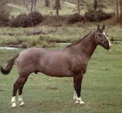 The Canadian Cutting Horse is a recognized Canadian type. Based largely on the American Quarter Horse which they resemble in most aspects. Their principal job is working cattle and they are well suited for this task. Whether this task is accomplished on the ranch or in the show ring.
