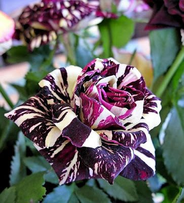 The Abracadabra rose is a hybrid with maroon and soft yellow coloring, with no two blooms looking the same. It originated in Germany as a variation of the Hocus Pocus rose, which is mostly maroon with flecks of yellow.  Photo credit: Alastair ROSS