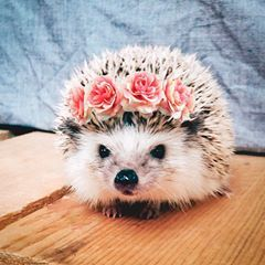 It's the little things in life 🙃💕🌸 #girlfriendsuna #hedgehog #flowercrown #happiness #hellospring