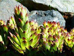 Hennen Und Küken Sukkulente, Pflanze