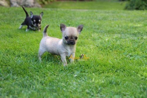Venta Cachorros Chihuahua 2 Chihuahua Chihuahua Dogs Chihuahua Puppies Chihuahua Love