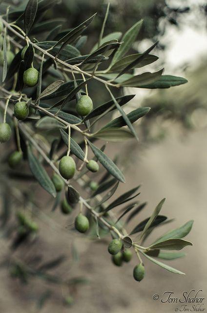 Olive Tree # | Flickr - Photo Sharing!
