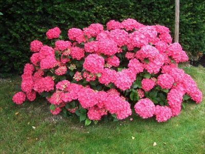 achterzijde, bestaande groep tussen gangetje en schuurtje Hydrangea hortensis - rode hortensia