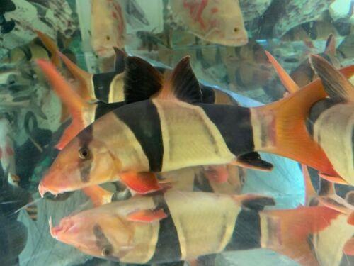 Clown Loaches Xl Size 7 8 Inch 75 00 One Day Shipping Clown Loach Tropical Fish Aquarium Live Aquarium Fish