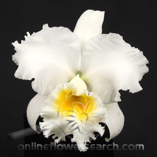 the national colombian flower the cattleya orchid, my favorite