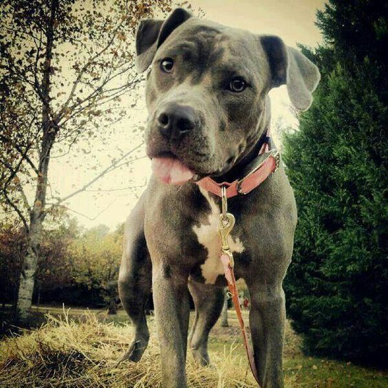 Aww...I love the natural ears on this American Staffordshire Terrier