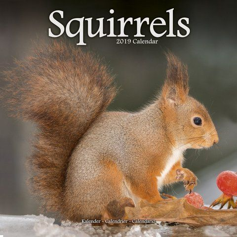 Squirrels 2019 Calendar Whether Nibbling An Acorn Or Posing For A Close Up The Squirrels Wall Calendar 2019 Captures These Adora Squirrel Animals Cute Animals