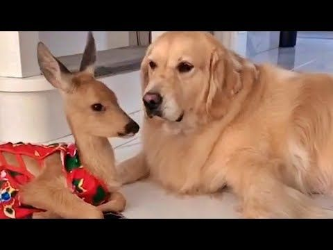 Througout The Animal Kingdom Friendships Are Made That If You Re Like Me Will Fascinate You Read On To L In 2020 Golden Retriever Baby Deer Unlikely Animal Friends