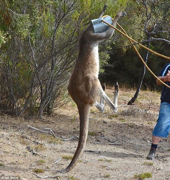 Kangaroo gets his head stuck in a watering can | Daily Mail Online
