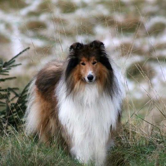 Shetland Sheepdog Energetic And Playful