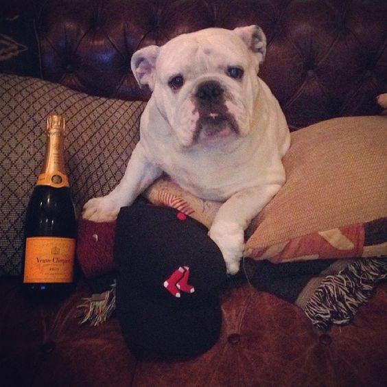 World series Blute popping bottles!!! #worldseries #redsox #bulldogsofinstagram #bulldog #blutothebulldog #bulldogs #englishbulldog #englishbulldogs #igbulldogs_socal #igbulldogs_worldwide #Padgram