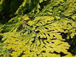 Chamaecyparis obtusa cripssii, Falso-cipreste-dourado, Pinheiro-dourado
