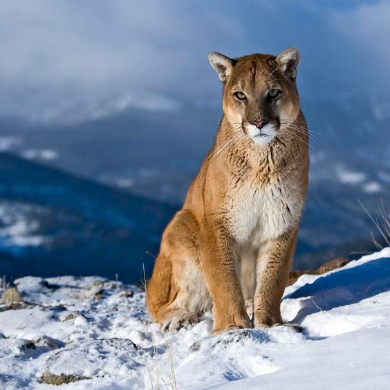 images of wild cats | Wild Cat Wallpaper for iPad