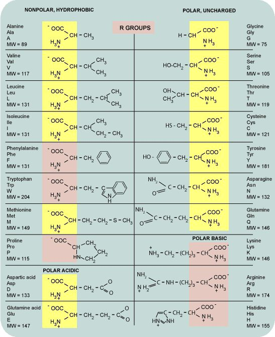 Amino the amino acids and a new bond was created in order to - amino acid chart