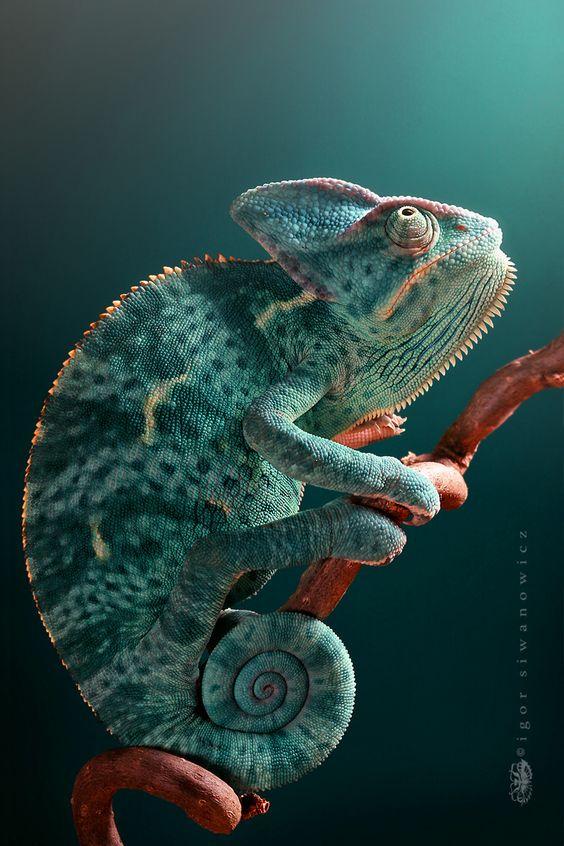 ▲ Mountain World Veiled Chameleon