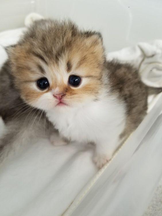 Baby Kitten Baby Kittens Ocicat Persian Kittens