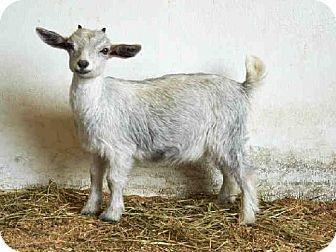 Union, MO - Goat. Meet JEZEBEL, a pet for adoption. http://www.adoptapet.com/pet/11375261-union-missouri-goat