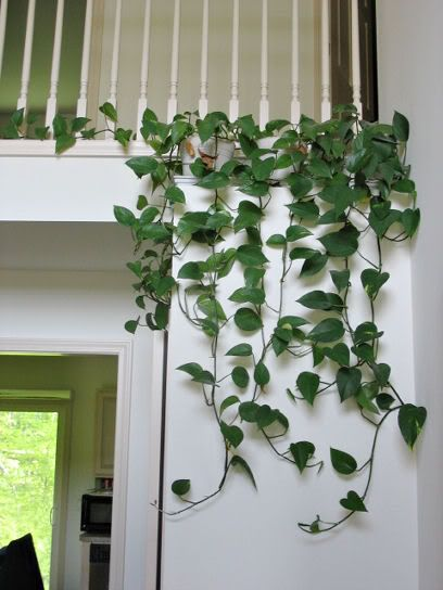 A lovely way to arrange Golden Pothos in the home!  Grows well in shade