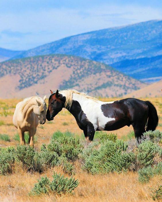 American Wild Horse Preservation kampanj: