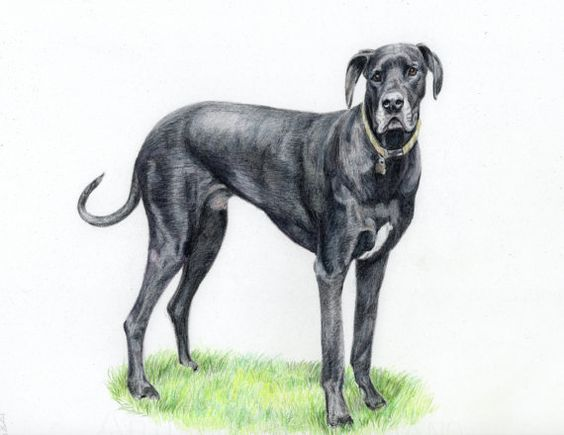Original Drawing of your Dog Custom Pet by PatouPetPortraits