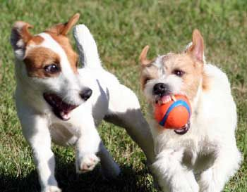 "OMG this is so my life!! Frannie growling with the ""Chuck it"" ball in the mouth!:"