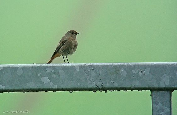 Black Redstart, Portobello Farm, 16th Nov 2014 | por Steve Blain