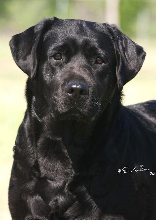 Black English Labrador Retrievers Not Chocolate But Beautiful In 2020 Labrador Retriever Cute Cats And Dogs Labrador