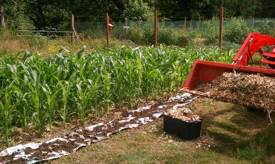 Back To Eden Garden Corn Crop Back To Eden Gardens Pinterest Gardens Back To And Corn Crop