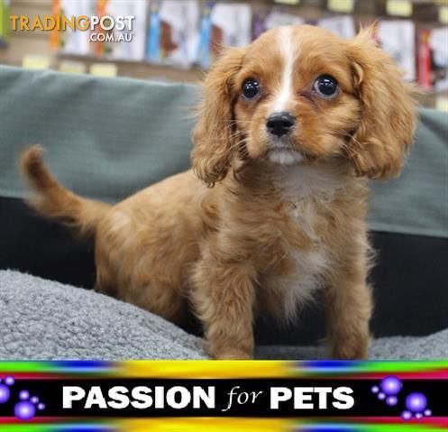 Xwx1 Cavalier King Charles Puppy Dog 953010001766142 For Sale In