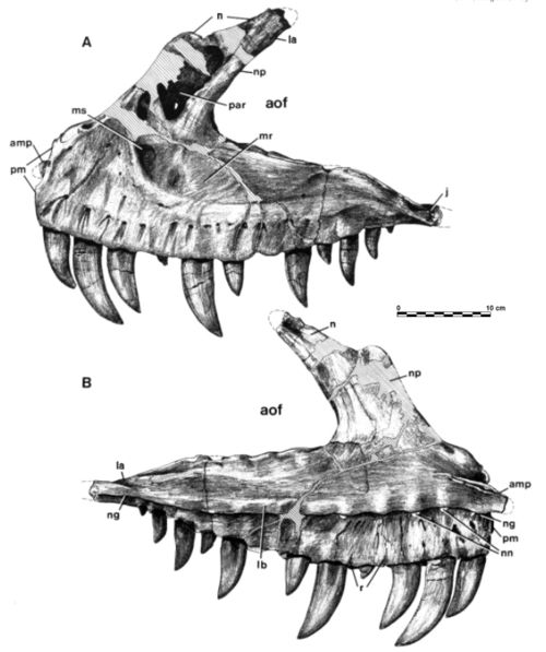 Ceratosaurus dentisulcatus, n. sp., holotype. Left maxilla, UUVP 674, in lateral (A), and medial (B) views. amp, anteromedial process;aof, antorbital fenestra; j, contact for jugal; la, contact for lacrimal; lb, lingual bar; mr, maxillary recess; ms, maxillary sinus; n, contact for nasal;ng, nutrient groove; nn, nutrient notch; np, nasal process; par, preantorbital recess; pm, contact for premaxilla; r, rugosa. Scale: one-third natural size.  From Madsen & ...