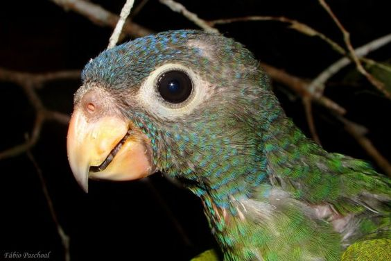 Filhote de Maritaca-de -cabeça-azul