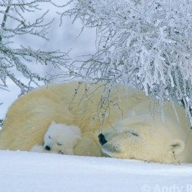 The most dangerous animal on the planet...a mother polar Bear protecting her young.