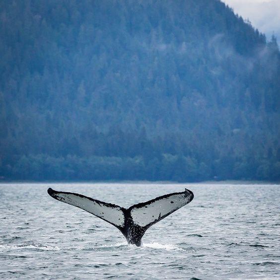 Humpback whale watching. #alaska