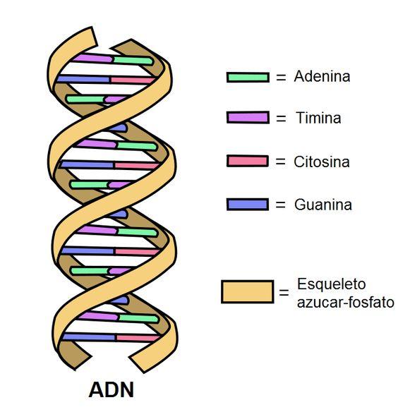 ADN: historia, funciones, estructura, componentes