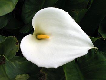 arum-flower (ou copo-de-leite), não confundir com lírio-da-paz.