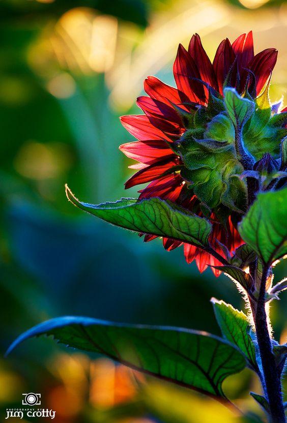 Backlit Sunflower by Jim Crotty: