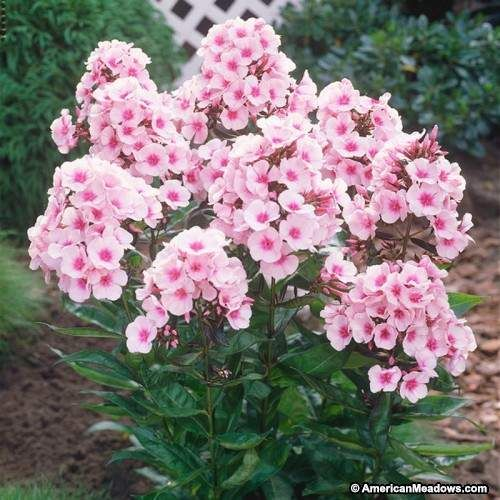Bright Eyes Phlox With Images Phlox Flowers Phlox Plant