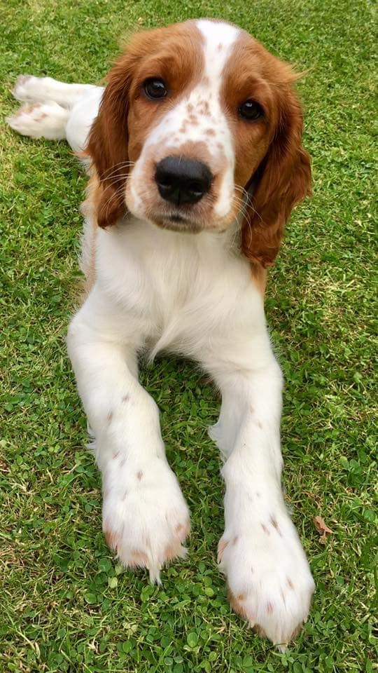 My Welsh Springer Pup Has The Number 12 On His Nose And It Took Almost Two Weeks To Even Notice In 2020 Spaniel Puppies Welsh Springer Spaniel Puppies Cute Dogs Breeds