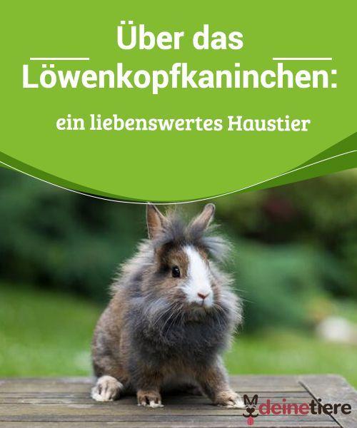 Uber Das Lowenkopfkaninchen Ein Liebenswertes Haustier Lowenkopf Kaninchen Kaninchen Haustiere