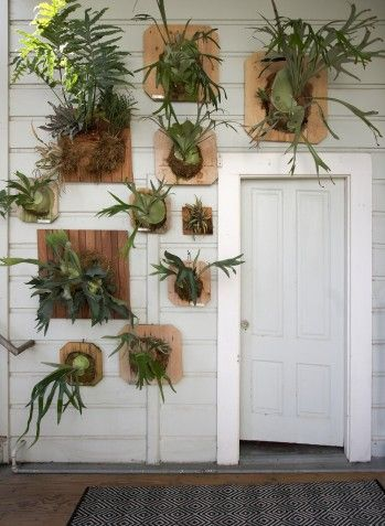 vertical garden of staghorns, other epiphytic ferns and orchids
