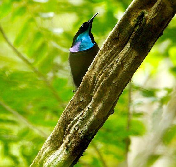 Magnificent Riflebird (Ptiloris magnificus) #Великолепная щитоносная райская птица