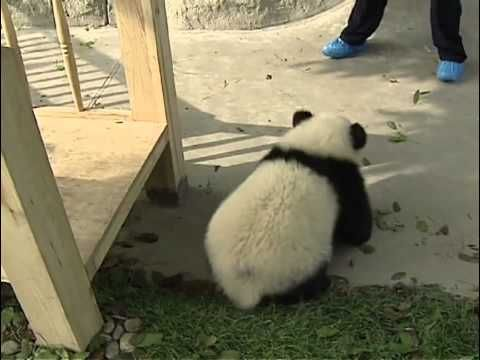 Baby Pandas playing on the slide
