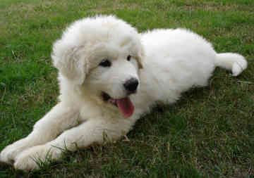 GREAT PRYNESS DOG PHOTO   Great Pyrenees - Dogs - Gandalf