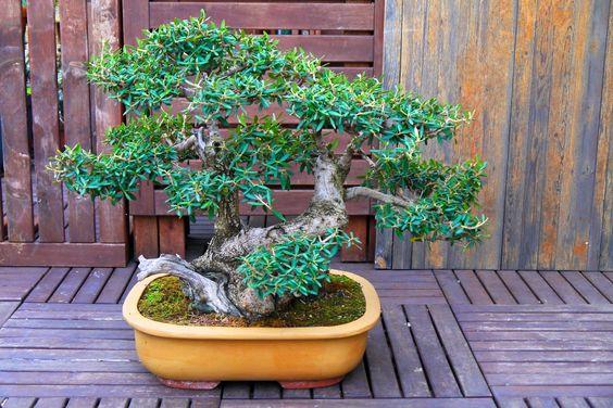 My Olive tree pruned: spring 2012